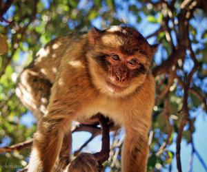 Barbary Apes of Azrou